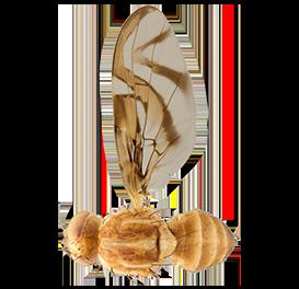 <em>Anastrepha fraterculus</em>