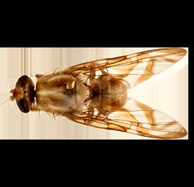 <em>Anastrepha obliqua</em>