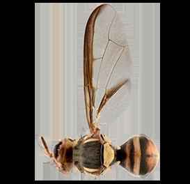 <em>Bactrocera bryoniae</em>