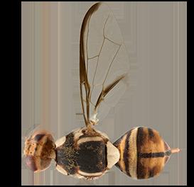 <em>Bactrocera carambolae</em>