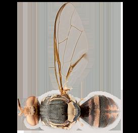 <em>Bactrocera caryeae</em>