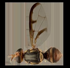 <em>Bactrocera curvipennis</em>