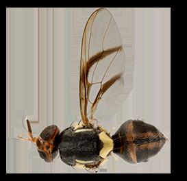 <em>Bactrocera frauenfeldi</em>