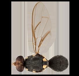 <em>Bactrocera obliqua</em>