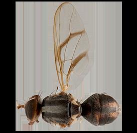<em>Bactrocera trilineola</em>