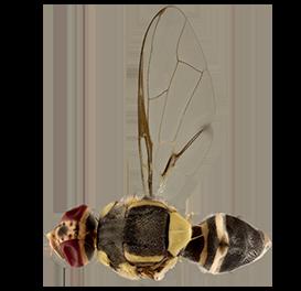 <em>Bactrocera tuberculata</em>