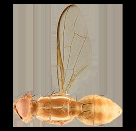 <em>Bactrocera xanthodes</em>
