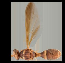 <em>Dacus solomonensis</em>