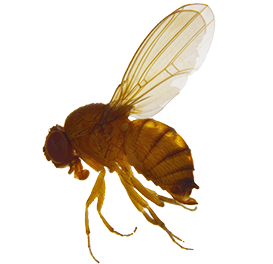 <em>Drosophila suzukii</em>