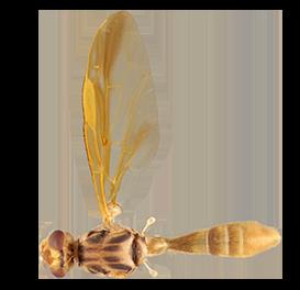 <em>Anastrepha curvicauda</em>