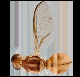 <em>Zeugodacus cucumis</em>