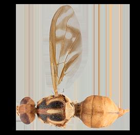<em>Zeugodacus decipiens</em>